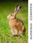 Stock photo european brown hare lepus europaeus sitting in a meadow germany 1216643416
