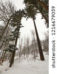 winter in schwarzwald. tall...   Shutterstock . vector #1216679059