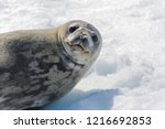 Leopard Seal On Beach With Sno...