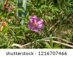 dog rose flower close up | Shutterstock . vector #1216707466