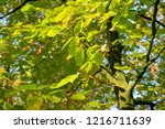 branch fork with leaves in...   Shutterstock . vector #1216711639