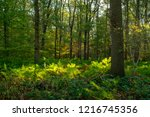 forest in autumn with ferns...   Shutterstock . vector #1216745356