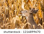 Young Whitetail Buck Eating In...