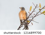 robin perched in a tree | Shutterstock . vector #1216899700