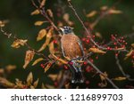 robin perched in a tree | Shutterstock . vector #1216899703