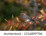 robin perched in a tree | Shutterstock . vector #1216899706