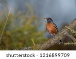 robin perched in a tree | Shutterstock . vector #1216899709