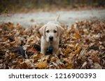 labrador retreiver puppy | Shutterstock . vector #1216900393