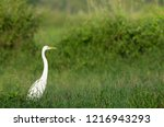 white bird  great egret in the... | Shutterstock . vector #1216943293