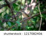 females brown shrike tend to... | Shutterstock . vector #1217082406