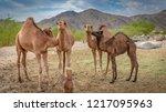 camel on sahara desert | Shutterstock . vector #1217095963