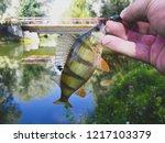 perch fish. russian bass on a... | Shutterstock . vector #1217103379