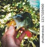 perch fish. russian bass on a... | Shutterstock . vector #1217103400