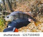 perch fish. russian bass on a... | Shutterstock . vector #1217103403