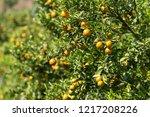 orange plantation garden | Shutterstock . vector #1217208226