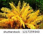 cinnamon fern  fall color along ...   Shutterstock . vector #1217259343