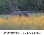 African Elephant In Long Grass