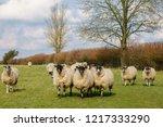 a flock of inquisitive  sheep... | Shutterstock . vector #1217333290