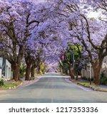 Jacaranda Trees In Johannesburg
