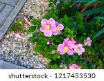 closeup of japanese anemone...   Shutterstock . vector #1217453530