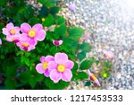 closeup of japanese anemone...   Shutterstock . vector #1217453533