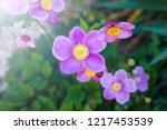 closeup of japanese anemone...   Shutterstock . vector #1217453539