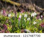 beautiful galanthus  snowdrop ... | Shutterstock . vector #1217487730