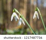beautiful galanthus  snowdrop ... | Shutterstock . vector #1217487736
