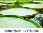 Floating leaves of amazon giant water lily Victoria - stock photo