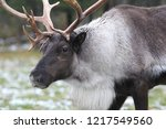 Wild Caribou From The North...