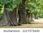 three massive tree trunks and... | Shutterstock . vector #1217572633