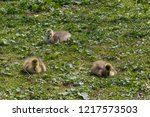 a trio of young  fluffy... | Shutterstock . vector #1217573503