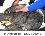 Stock photo man petting the rabbit the flemish giant rabbit is a very large breed of domestic rabbit and is 1217724043