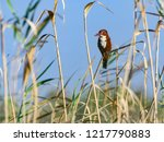 white throated kingfisher... | Shutterstock . vector #1217790883