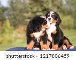 Stock photo bernese mountain dog puppy in kennel cute puppy posing outside 1217806459