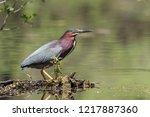 Green Heron On Log In Wetlands