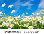 White Daisies On Blue Sky...