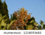 deciduous tree in autumnal... | Shutterstock . vector #1218053683