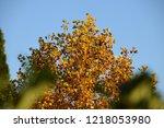 upper part of deciduous tree in ... | Shutterstock . vector #1218053980