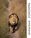 beautiful lion with a big mane... | Shutterstock . vector #1218154996