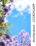 flowers of jacaranda trees...   Shutterstock . vector #1218241609
