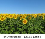 sunflowers field and clear blue ... | Shutterstock . vector #1218312556