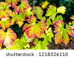 fall colors on grapevine leaves. | Shutterstock . vector #1218326110