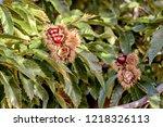 closeup of chestnut tree... | Shutterstock . vector #1218326113