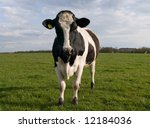 Single Cow Looking At The Camera