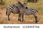 two zebras entwined  tarangire... | Shutterstock . vector #1218405766