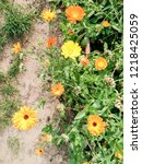 lawn with calendula flowers. | Shutterstock . vector #1218425059