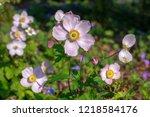 anemone hupehensis japonica...   Shutterstock . vector #1218584176