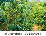close up coffee plants tree in... | Shutterstock . vector #121864069