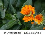 green caterpillar in orange... | Shutterstock . vector #1218681466
